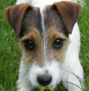 Exemplary punishment for the executioner of the jack russell