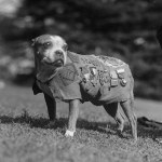 The incredible story of the dog Stubby during the war