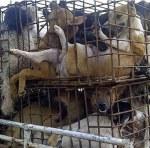 Dog meat mafia Thailand Vietnam