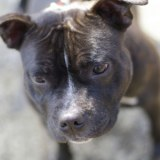 Euthanasia... a staffy recognized