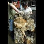 En Chine, plusieurs chiens tassés dans une cage