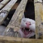 350 chats capturés pour leur viande sauvés en Chine