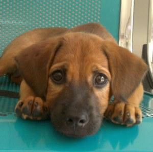 Dolly adorable petite chienne de quatre mois