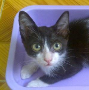 Wilfred sympathique petit chat noir et blanc