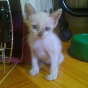 Brad an eight weeks kitten found in a trash can