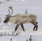 Wild animals North America in winter