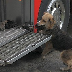 Chile a female dog saves her four puppies
