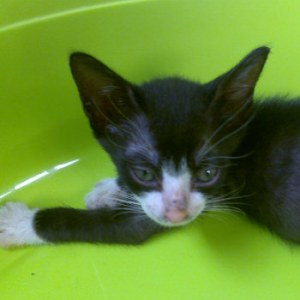 Cochise a little active cat of 8 weeks to adopt