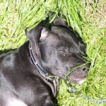 Dog sentenced to death because he looked like a Pitbull