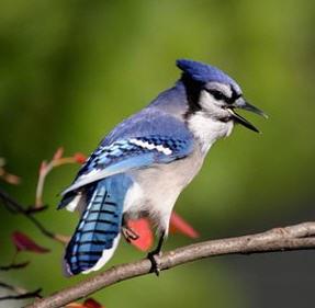 Oiseaux magnifiques