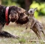 Le chien et le jeune kangourou