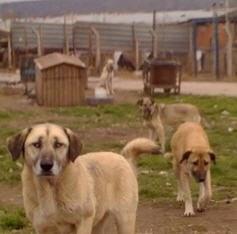 Turquie un refuge pour chiens en difficulté