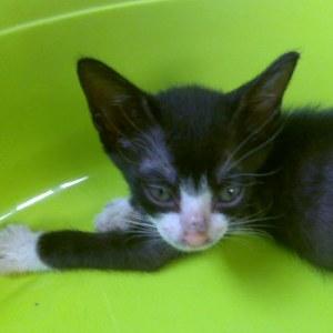 Cochise petit chat actif de 8 semaines à adopter