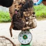 Dog meat mafia