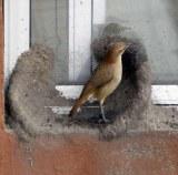 Hornero urbain faisant son nid