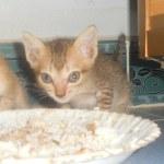 Leia un petit chaton de moins de 2 mois