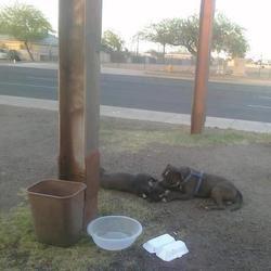 Một loại chó ở Mỹ tên Pitbull đã nằm bên cạch bạn  của nó bị thương vì xe cán
